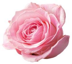 roza-z-BH